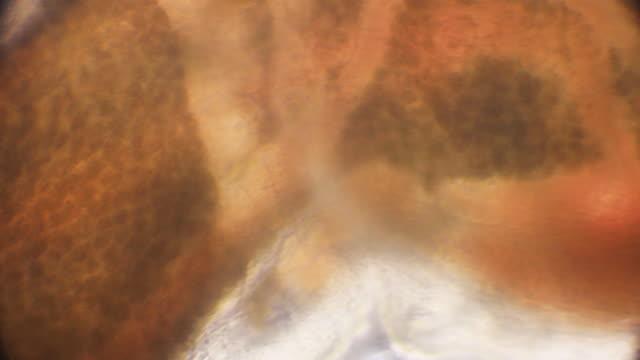stockvideo's en b-roll-footage met micro-organisme lichaamsdeel onder microscoop (bloodworm, glycera, annelid) - in het water levend organisme