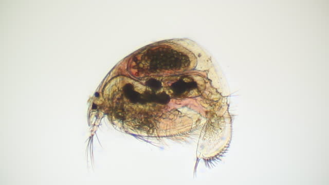 microorganism - daphnia - daphnia stock videos and b-roll footage