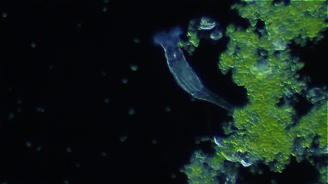 microorganism - rotifer, darkfield microscopy - magnification stock videos & royalty-free footage