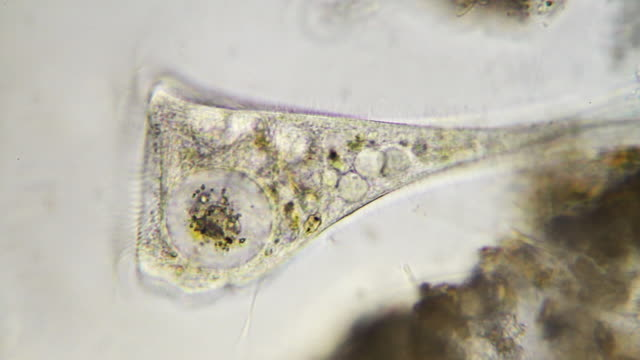microorganism - stentor - high scale magnification stock videos & royalty-free footage