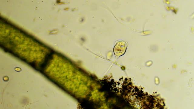 Microorganism - Vorticella
