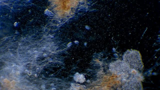 vidéos et rushes de micro-organismes flottant dans l'eau d'étang - paramécie