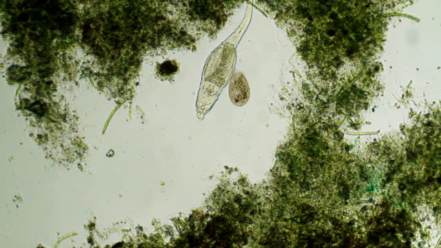 microorganisms - rotifer and paramecium - bacillus subtilis stock videos & royalty-free footage