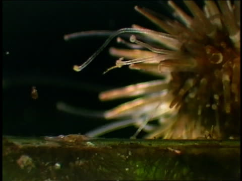 microscope point of view sea urchin (echinodermata) - sea urchin stock videos and b-roll footage
