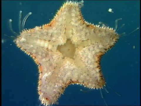 Microscope point of view starfish (echinodermata)