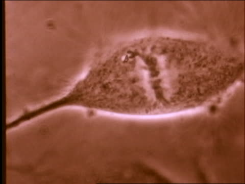 microscopic - cell division with chromosomes visible / birth of the brain - 染色体点の映像素材/bロール