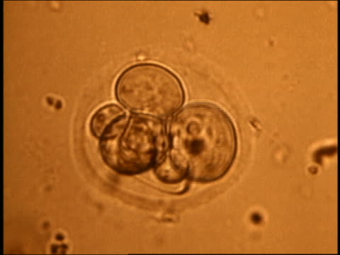 stockvideo's en b-roll-footage met microscopic close up - fertilized human egg undergoes mitosis in orange environment / 1st stage of embryo - cel