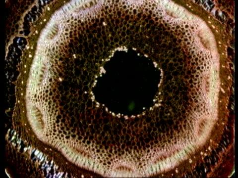 vídeos de stock, filmes e b-roll de microscopic cross sectional view through woody stems to show vascular bundles, xylem, cambium, phloem - célula vegetal
