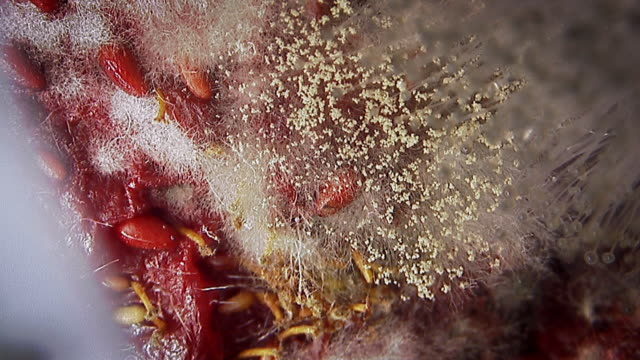 Microscopic footage of mould on a strawberry