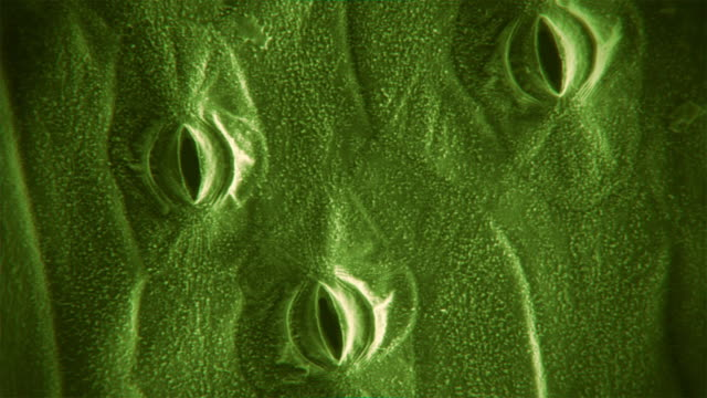 Microscopic footage of the stomata of a plant leaf opening and closing sped up 140 times