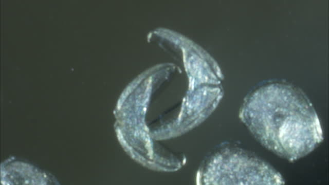 microscopic mussel cells react to each other. - ムール貝点の映像素材/bロール