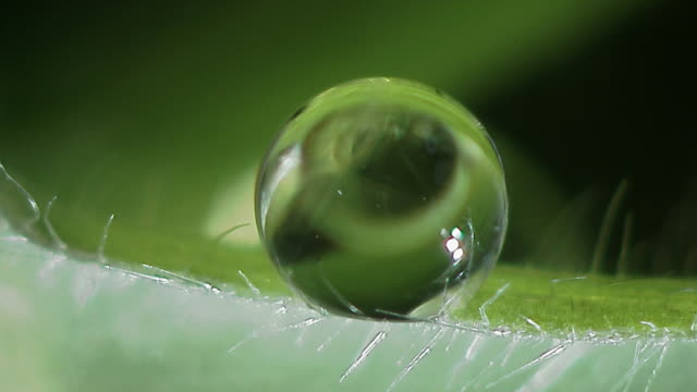 Microscopic organisms swim around in droplet of water on leaf, England