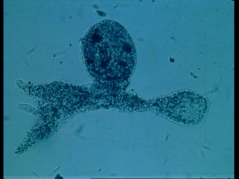 cu microscopic view of amoeba, large food vacuole and prey - animale microscopico video stock e b–roll