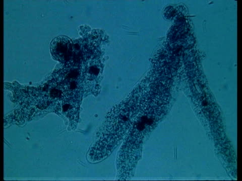 cu microscopic view of amoeba - organismo unicellulare video stock e b–roll