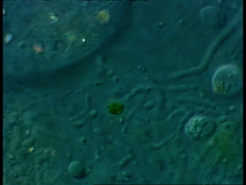 ecu microscopic view of bacteria and ciliate protozoans in freshwater farmyard pool sample - animale microscopico video stock e b–roll