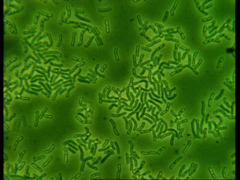 t/l microscopic view of bacteria - bacillus subtilis stock videos & royalty-free footage
