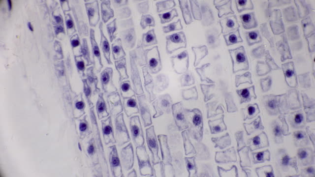 microscopic view of cells of broad bean plant cells - cell membrane stock videos & royalty-free footage