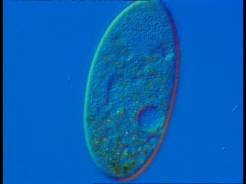 cu microscopic view of ciliate protozoan, blue background - animale microscopico video stock e b–roll