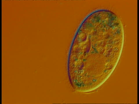 cu microscopic view of ciliate protozoan, showing organelles, vacuoles, oral groove detail, orange background - ciliate stock videos and b-roll footage