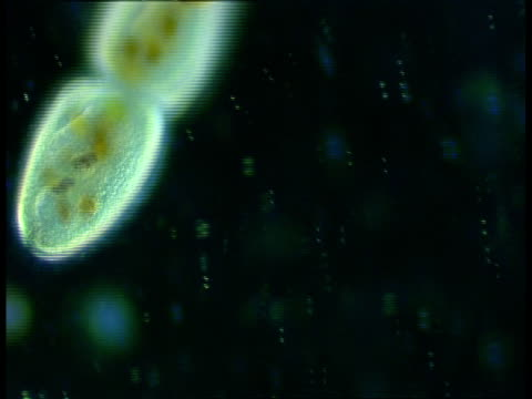 cu microscopic view of ciliate protozoans, group, conjugation - animale microscopico video stock e b–roll