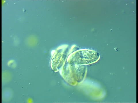 cu microscopic view of ciliate protozoans, group, possibly pre conjugation - biological process stock videos and b-roll footage