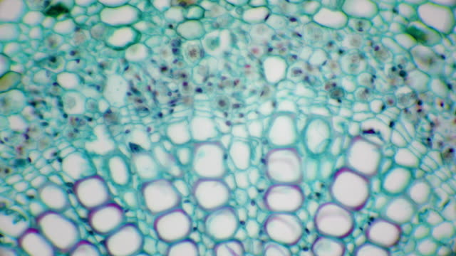 microscopic view of cross section of cotton leaf cells - natural pattern stock videos & royalty-free footage