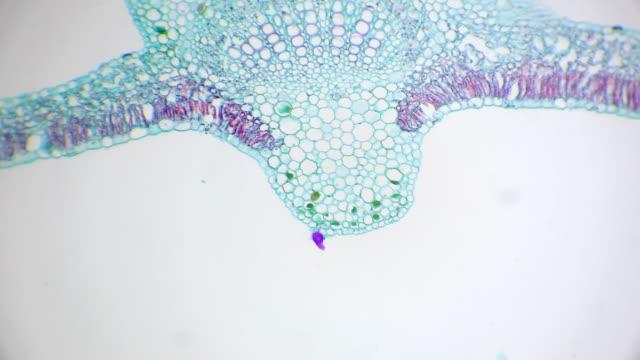 vídeos de stock, filmes e b-roll de vista microscópica da seção transversal de pilhas da folha do algodão - micrografia