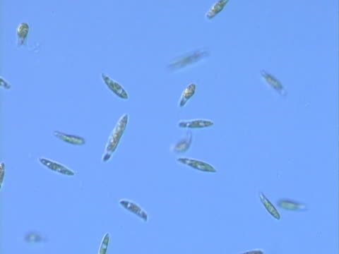 vídeos de stock, filmes e b-roll de microscopic view of euglena, unicellular organism with single flagella, moving in freshwater  - protozoário