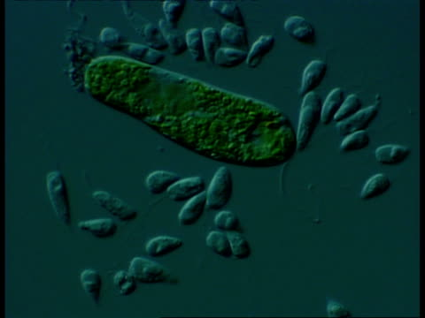 microscopic view of flagellates and euglena sp.(euglena is classed as both an animal and an alga due to is ability to both move and photosynthesise) differential interference contrast - fotosintesi video stock e b–roll