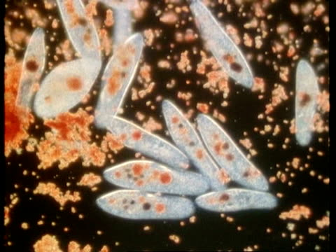 wa microscopic view of group of paramecium feeding - animale microscopico video stock e b–roll
