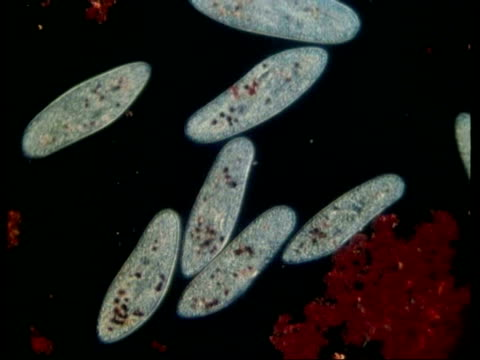 cu microscopic view of paramecium feeding - animale microscopico video stock e b–roll