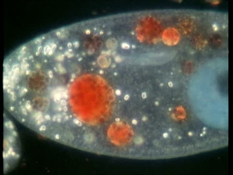 bcu microscopic view of paramecium vacuole and particles - animale microscopico video stock e b–roll