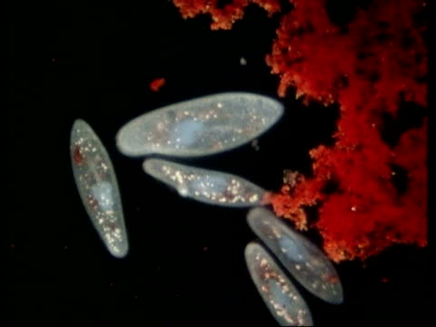 cu microscopic view of paramecium - animale microscopico video stock e b–roll