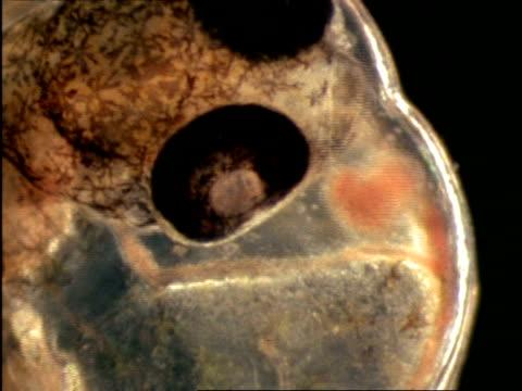 bcu microscopic view of sargassum flying fish (cypselurus) egg, bermuda - undersea stock videos & royalty-free footage