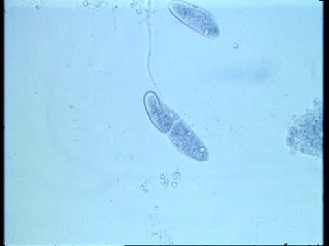 wa microscopic view of two paramecium conjugating - paramecio video stock e b–roll