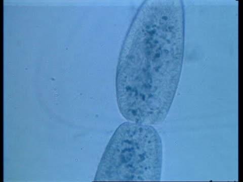 cu microscopic view of two paramecium conjugating - paramecio video stock e b–roll