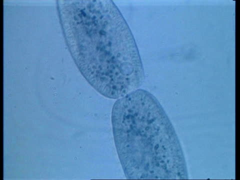 cu microscopic view of two paramecium conjugating - organismo unicellulare video stock e b–roll