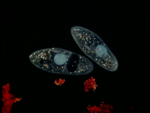 cu microscopic view of two paramecium - animale microscopico video stock e b–roll