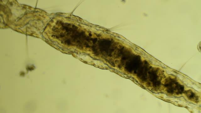 顕微鏡蠕虫クロール - high scale magnification点の映像素材/bロール