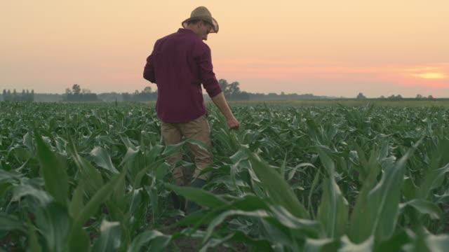 vidéos et rushes de ws mid fermier adulte marchant parmi de jeunes usines de maïs au coucher du soleil - low angle view