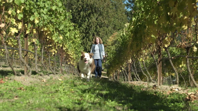Mid adult woman walking among grape vines with two dogs