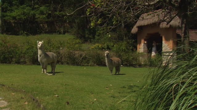 """mid of off white llama and tan llama standing on grass with bushes and thatched roof building behind, llamas move heads at same time, leimebamba [leymebamba], peru"" - thatched roof stock videos and b-roll footage"