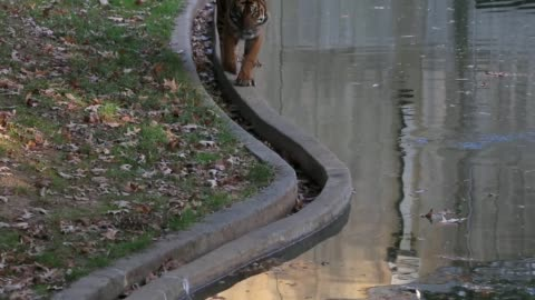mid shot, a sumatran tiger walks in the great cats exhibit area at the smithsonian's national zoological park. washington, dc. october 18, 2013.... - smithsonian institution stock videos & royalty-free footage