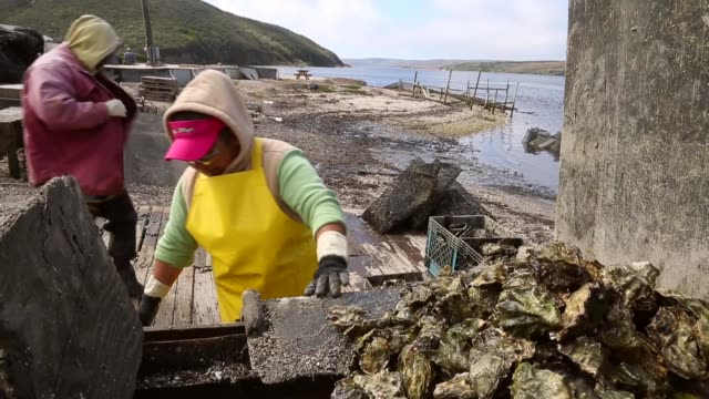 mid shot, a worker is emptying crates of oysters onto a conveyor belt. drakes bay oyster co. workers sort freshly harvested oysters on september 4,... - mollusc stock videos & royalty-free footage