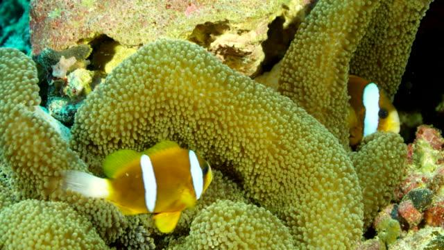 mid shot clownfish swimming among anemone - clown fish stock videos & royalty-free footage