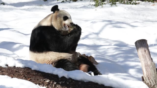 mid shot, giant panda mei xiang eats a piece of treat in her enclosure, one day after a snow storm has hit the area. washington, dc. february 14,... - enclosure stock videos & royalty-free footage