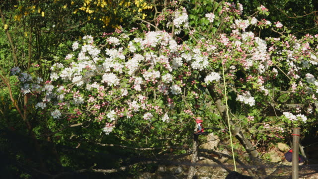 mid shot of apple tree blossom. - 園芸学点の映像素材/bロール