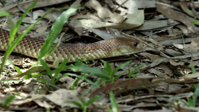 vídeos de stock e filmes b-roll de mid shot of brown snake slithering through grass and leaves - castanho