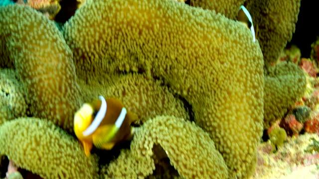 mid shot of clownfish and domino damselfish - damselfish stock videos & royalty-free footage