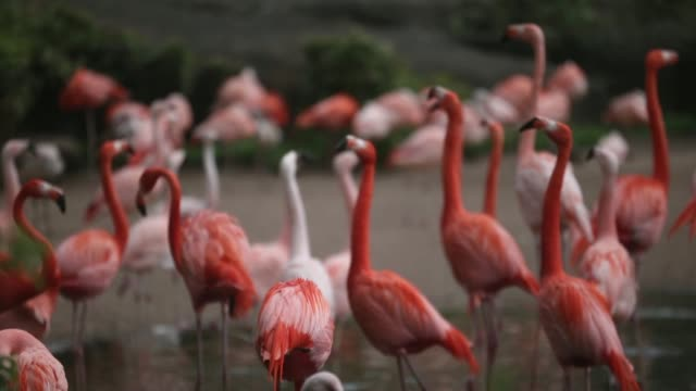 mid shot of flamingos flamingos gather together in their enclosure at hagenbeck zoo on may 16 2013 in hamburg germany animals in the zoo at tierpark... - flamingo stock-videos und b-roll-filmmaterial